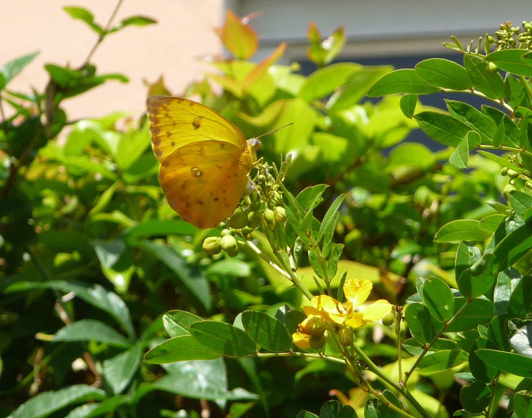 Yellow Butterfly In My Garden Yesterday